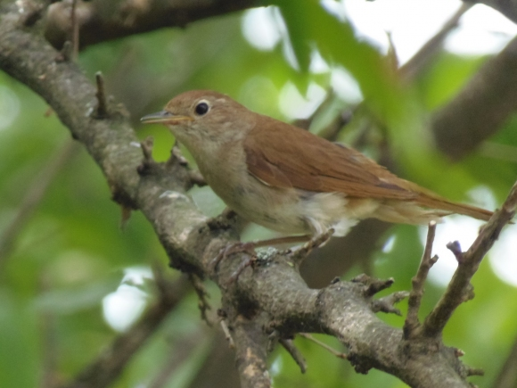 Common Nightingale/Luscinia megarhynchos - Photographer: Петър Петров