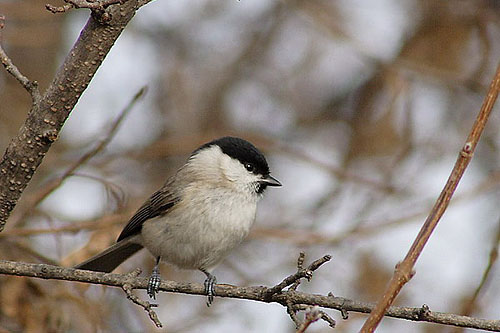 Marsh Tit/Poecile palustris - Photographer: Младен Василев