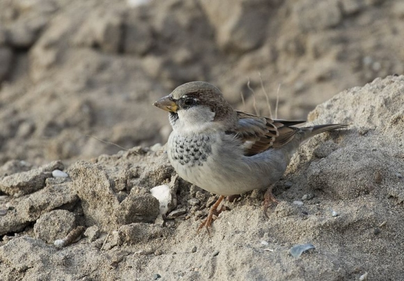 House Sparrow/Passer domesticus - Photographer: Zeynel Cebeci