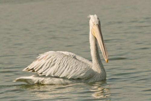 Къдроглав пеликан/Pelecanus crispus - Фотограф: Николай Стоянов
