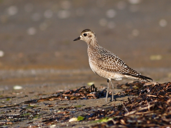 American Golden Plover/Pluvialis dominica - Photographer: Даниел Митев
