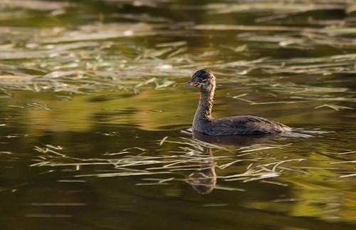 Horned Grebe/Podiceps auritus - Photographer: Борис Белчев