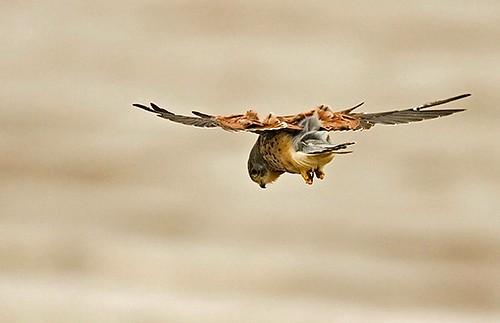 Common Kestrel/Falco tinnunculus - Photographer: Борис Белчев