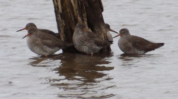 Common Redshank/Tringa totanus - Photographer: Chris Rymer