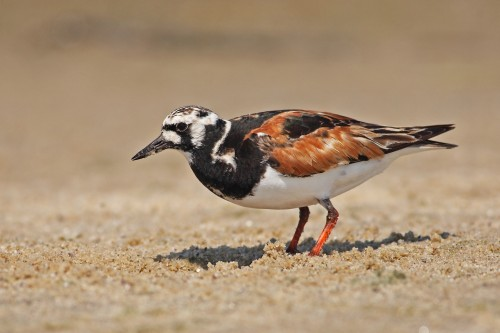 Ruddy Turnstone/Arenaria interpres - Photographer: Даниел Митев