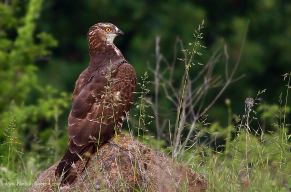 European Honey-buzzard/Pernis apivorus - Photographer: Николай Шопов