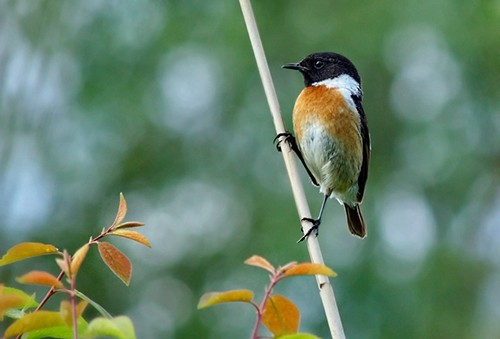 Common Stonechat/Saxicola rubicola - Photographer: Иван Иванов