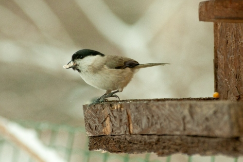 Willow Tit/Poecile montana - Photographer: Николай Стоянов