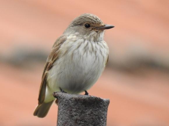 Spotted Flycatcher/Muscicapa striata - Photographer: Петър Петров