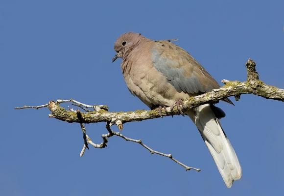 Laughing Dove/Streptopelia senegalensis - Photographer: Zeynel Cebeci