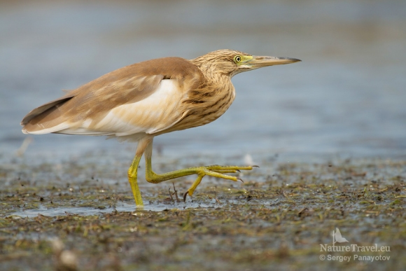 Squacco Heron/Ardeola ralloides - Photographer: Sergey Panayotov