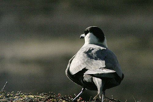 Long-tailed Skua/Stercorarius longicaudus - Photographer: Димитър Георгиев
