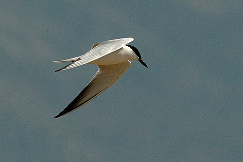 Gull-billed Tern/Gelochelidon nilotica - Photographer: Тео Тодоров