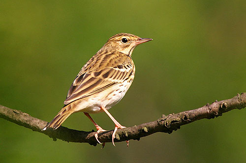 Tree Pipit/Anthus trivialis - Photographer: Емил Енчев
