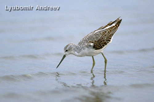Marsh Sandpiper/Tringa stagnatilis - Photographer: Любомир Андреев - Лу_пи