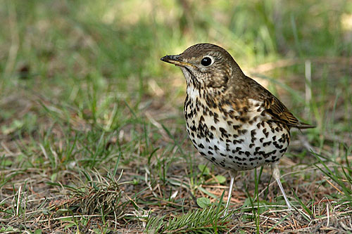 Song Thrush/Turdus philomelos - Photographer: Николай Димитров