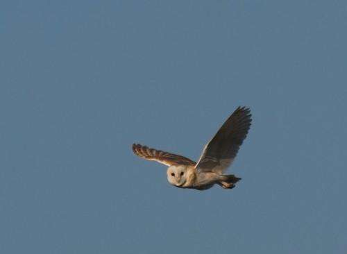Забулена сова/Tyto alba - Фотограф: Борис Белчев