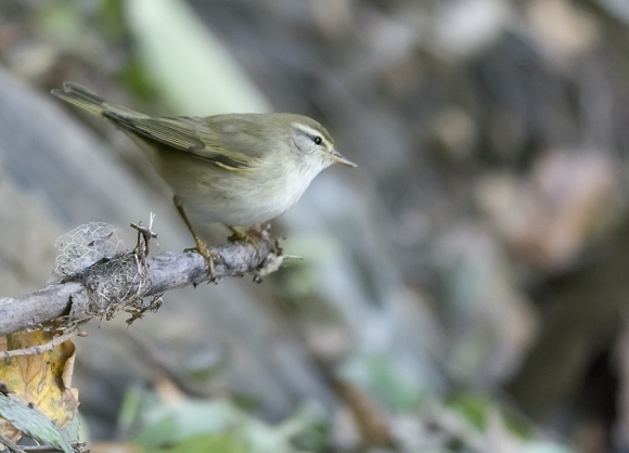 Willow Warbler/Phylloscopus trochilus - Photographer: Николай Нейков