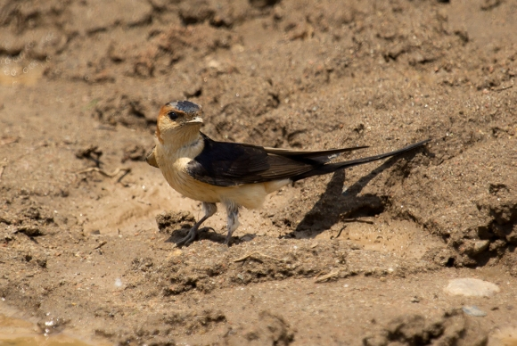 Red-rumped Swallow/Cecropis daurica - Photographer: Plamen Dimitrov