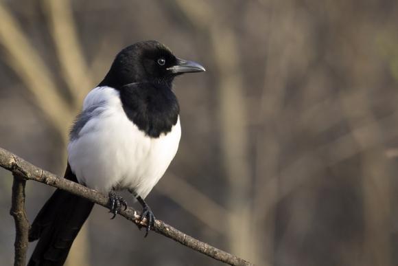Black-billed Magpie/Pica pica - Photographer: Plamen Dimitrov