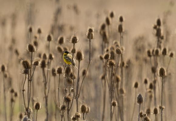 Yellow Wagtail/Motacilla flava - Photographer: Plamen Dimitrov