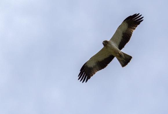 Booted Eagle/Hieraaetus pennatus - Photographer: Plamen Dimitrov