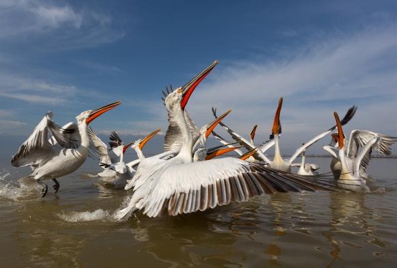 Dalmatian Pelican/Pelecanus crispus - Photographer: Plamen Dimitrov