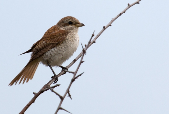 Red-backed Shrike/Lanius collurio - Photographer: Plamen Dimitrov
