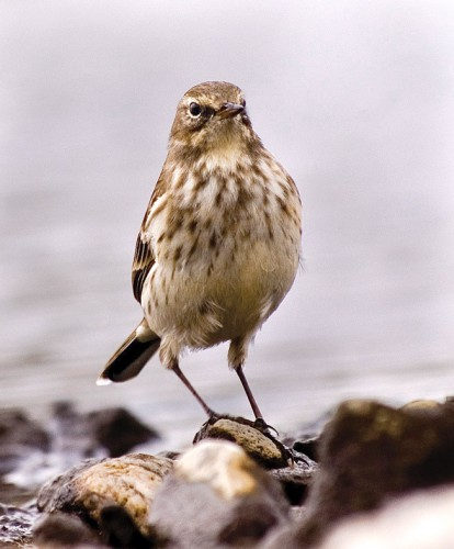 Water Pipit/Anthus spinoletta - Photographer: Евгений Даков
