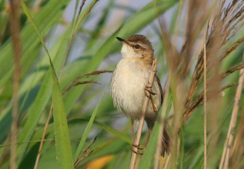 Paddyfield Warbler/Acrocephalus agricola - Photographer: Младен Василев