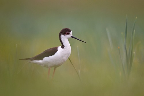 Black-winged Stilt/Himantopus himantopus - Photographer: Богдан Боев