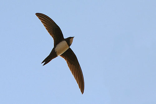 Alpine Swift/Tachymarptis melba - Photographer: Емил Енчев