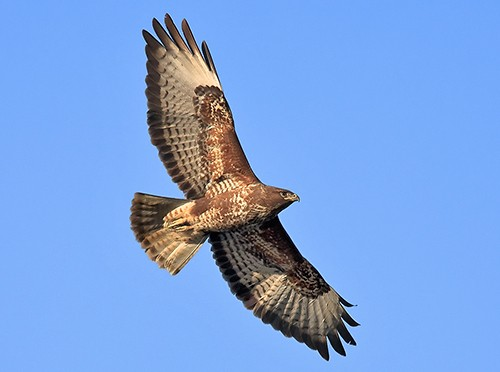 Common Buzzard/Buteo buteo - Photographer: Иван Иванов