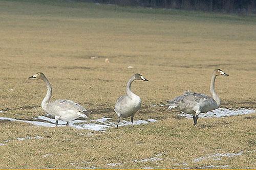 Whooper Swan/Cygnus cygnus - Photographer: Младен Василев