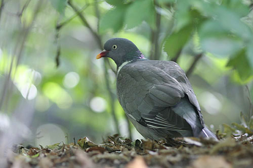 Common Wood-pigeon/Columba palumbus - Photographer: Sergey Panayotov