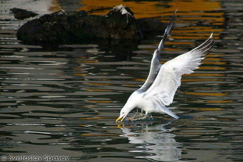 Yellow-legged Gull/Larus michahellis - Photographer: Светослав Спасов