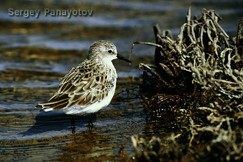 Little Stint/Calidris minuta - Photographer: Sergey Panayotov