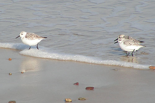 Sanderling/Calidris alba - Photographer: Даниел Митев