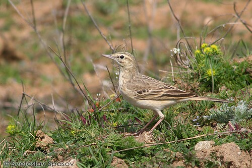Tawny Pipit/Anthus campestris - Photographer: Светослав Спасов