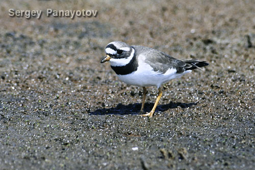 Common Ringed Plover/Charadrius hiaticula - Photographer: Sergey Panayotov