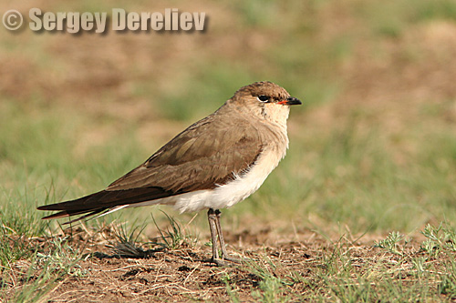 Black-winged Pratincole/Glareola nordmanni - Photographer: Сергей Дерелиев