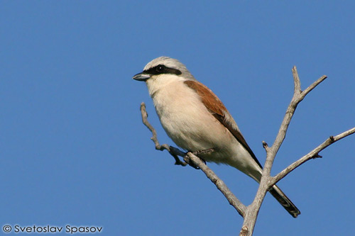 Red-backed Shrike/Lanius collurio - Photographer: Светослав Спасов