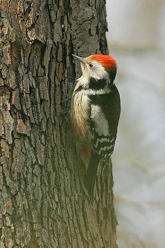 Middle Spotted Woodpecker/Dendrocopos medius - Photographer: Емил Енчев