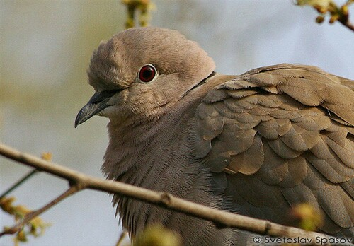 Eurasian Collared-dove/Streptopelia decaocto - Photographer: Светослав Спасов