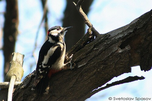 Great Spotted Woodpecker/Dendrocopos major - Photographer: Светослав Спасов