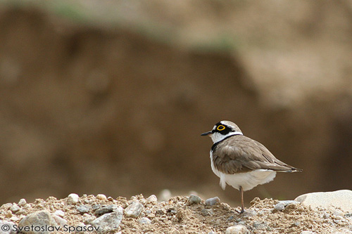 Little Ringed Plover/Charadrius dubius - Photographer: Светослав Спасов