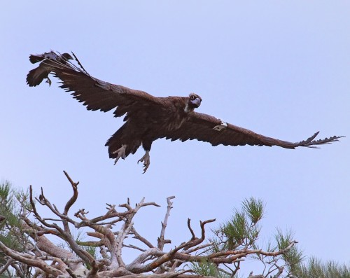 Cinereous Vulture/Aegypius monachus - Photographer: Иво Дамянов