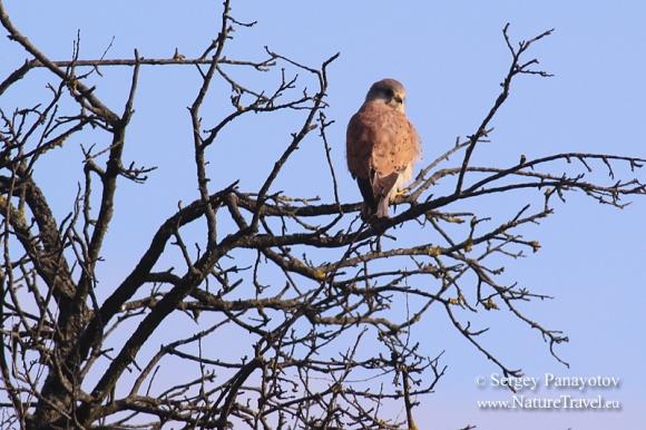 Common Kestrel/Falco tinnunculus - Photographer: Sergey Panayotov