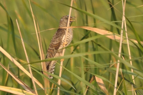 Common Cuckoo/Cuculus canorus - Photographer: Весела Банова
