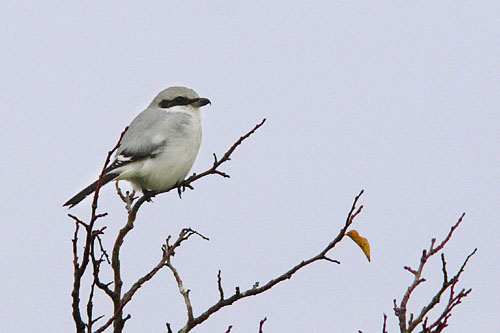 Northern Grey Shrike/Lanius excubitor - Photographer: Младен Василев